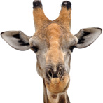 A head of a giraffe