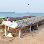 The fish drying process is on the long tables beside the ocean shore