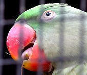 The Alexandrine parakeet in Loro Parque