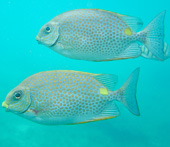 Gold saddle Rabbitfish 'Siganus guttatus'